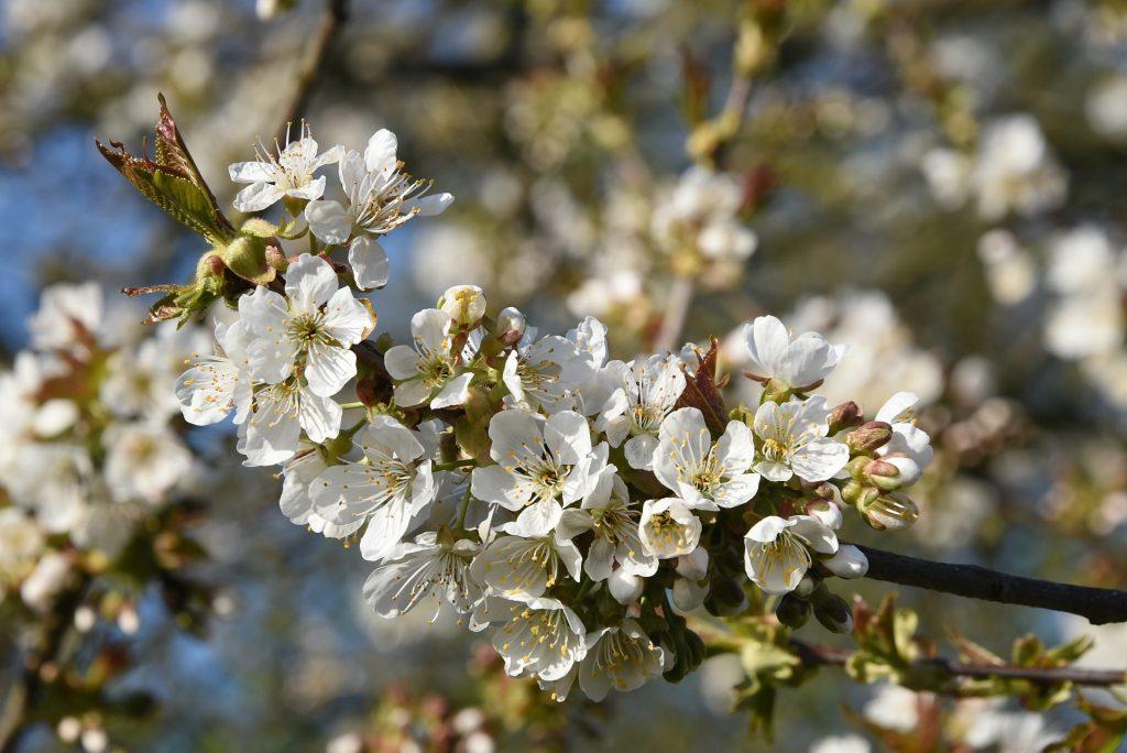 Blüten und Knospen am Baum