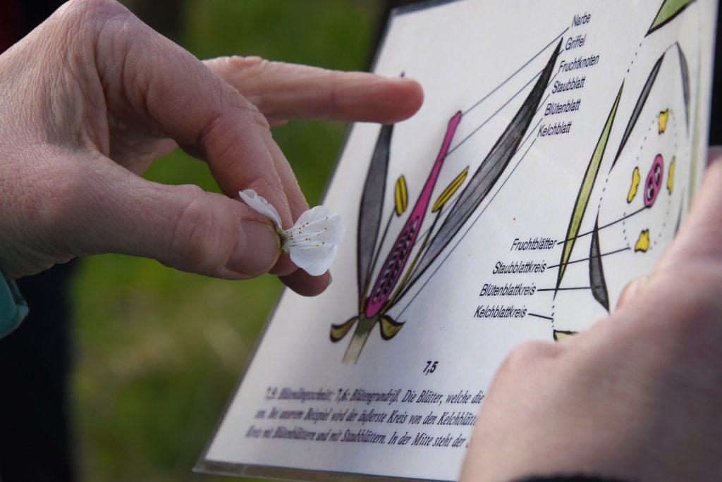 Blütenbestimmung mit Bestimmungsbuch