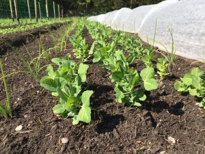 Beet mit Jungpflanzen